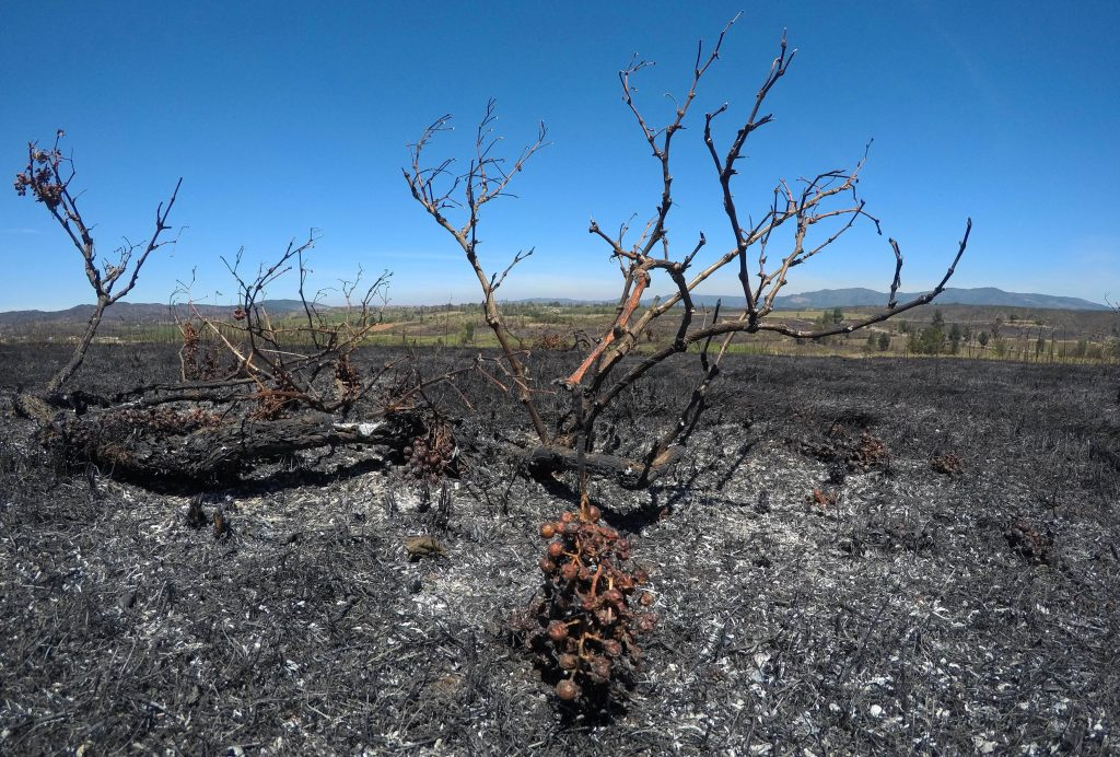 Burnt grapes are seen at a vineyard during a forest fire in the town of Cauquenes in the Maule region, Chile, January 24, 2017. REUTERS/Nicolas Martinez FOR EDITORIAL USE ONLY. NO RESALES. NO ARCHIVE.